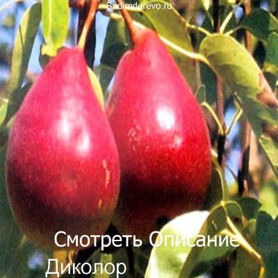 Груша Диколор