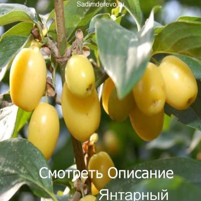 Кизил Янтарный