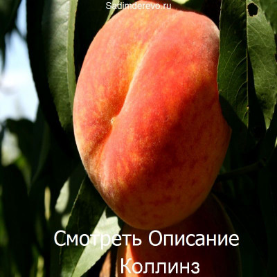 Персик Коллинз