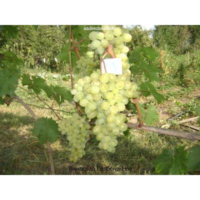 Виноград Галбена-Ноу